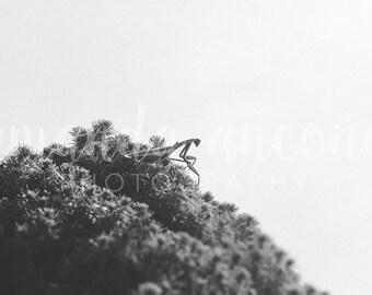 Praying Mantis  — Digital