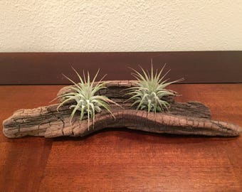 Driftwood Piece with Two Tillandsias