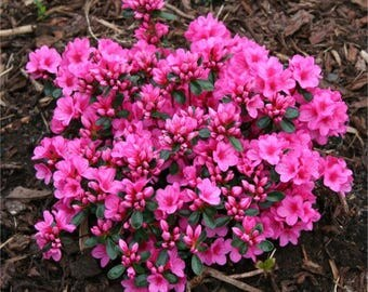 Azalea japonica 'Pink Panther' - Evergreen Pink Azaleas - Pack of THREE Plants