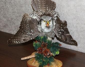 Northern Hawk Owl - Taxidermy Bird Mount, Stuffed Bird For Sale - ST3678