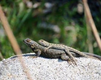 Loving Lizards