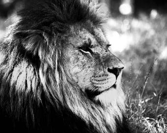 Lion black and white photographic print