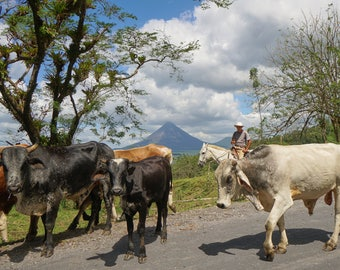 Cattle Drive - Costa Rica