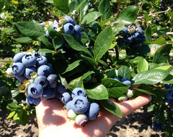 Elliott Variety Blueberry Plants - Vaccinium elliottii - Blue Berry - 4 to 8 Inches tall - Ready To Plant -- Bitcoin accepted here!