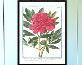 Peony antique botanical print botanical print floral print botanical illustration botanical print set antique flower print vintage print