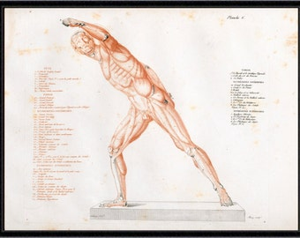 Anatomical Study of a Gladiator (4) antique reproduction print giclee print anatomy print anatomy art vintage anatomy antique anatomy