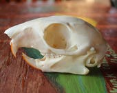 Real squirrel skull for carving, display, crafts and more DESTASH