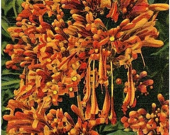 Vintage Florida Postcard - The Flame Vine in Bloom (Unused)