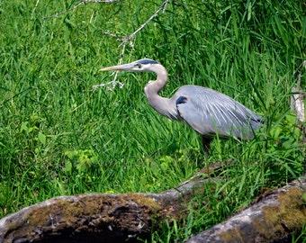 Great Blue Heron Photo - Hunting Heron Photo - Wildlife Decor - Blue Heron Photos - Bird Photography