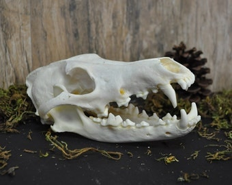 Exotic Real Beautiful Large Coyote Skull Pathological Defect - Discount