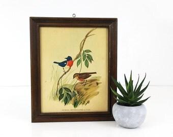 J. Gould Bird Print, framed lithograph print, Petroica Erythrogaster, Bird Illustrations