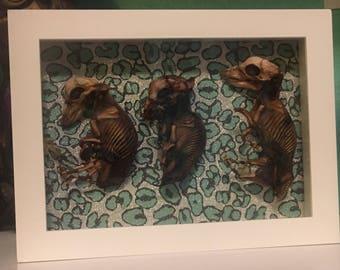 Three little mummified pigs