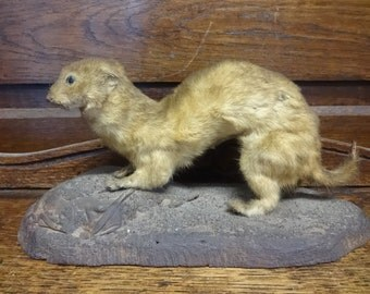 Vintage French mounted Weasel Ferret Stoat taxidermy figurine statue on wood base hunting trophy curio circa 1920-30's / English Shop