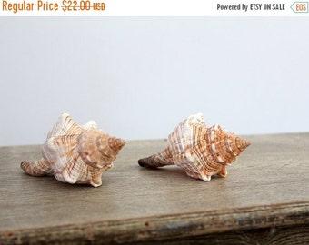 SALE Fox Shells, Vintage Sea Shells