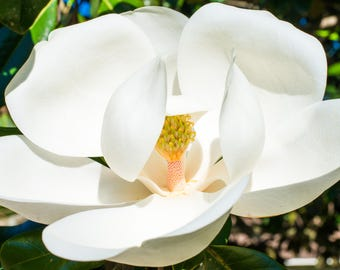 Magnolia - Stock image - Commercial Use - License - Digital Download