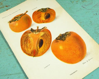 Antique Original Persimmon Variety Book Plate from 1908 Yearbook of the Department of Agriculture, Persimmon Print
