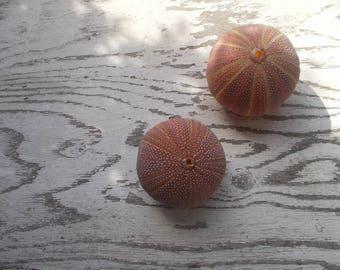 2 Natural Sea  Urchin shell