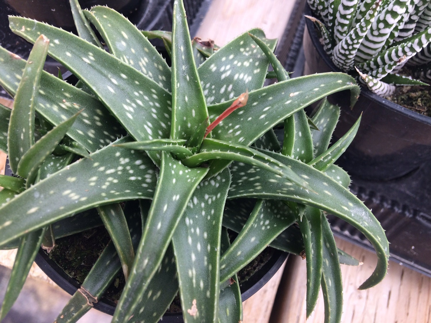 succulent plant aloe firebird a beautiful aloe deep emerald green with white speckles on the. Black Bedroom Furniture Sets. Home Design Ideas