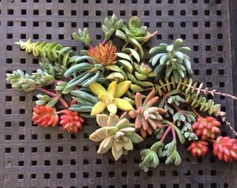 50 Succulent Cuttings, Succulent WEDDING FAVORS, Succulent Plants, Centerpiece, Garden, Mothers Day Gift