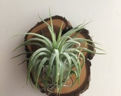 Air Plant mounted on a tiny piece of wood with neodymium magnets great to put on a fridge or anything metal