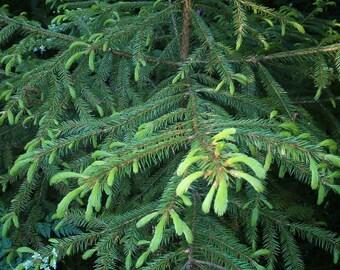 Korean Spruce Tree Seeds, Picea koraiensis - 25 Seeds