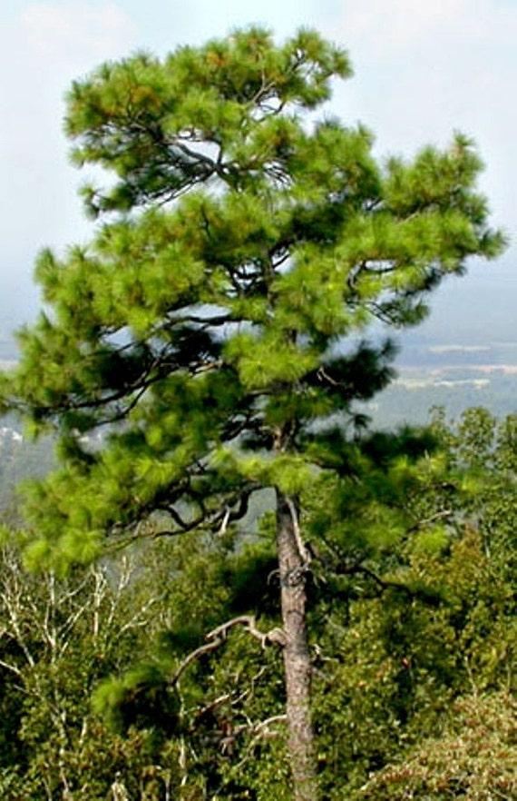 Longleaf Pine Tree Seeds Pinus palustris 25 Seeds