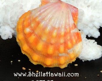 25 mm Hawaiian Sunrise shell #275