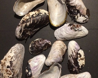 Horse Mussel Shells