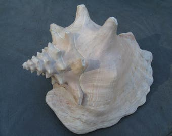Conch Sea Shell, Large Conch, Pink Conch, Large Sea Shell
