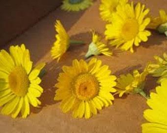 HCH) DYER'S CHAMOMILE~Seeds!!~~~~~Stunning Perennial Variety!