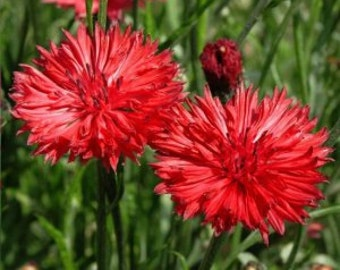 ABB) RED BACHELOR Button~Seeds!!!!~~~~~~~~A Punch of Color!