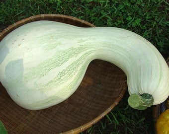 VSQW)~WHITE CUSHAW Squash~Seeds!!!~~~~~Sweet Heirloom!!