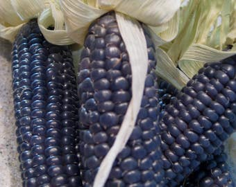 VCOO)~HOPI BLUE Flour Corn~Seeds!!~~~~~~Beautiful Heirloom!