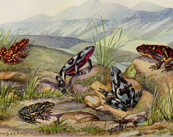1915 Antique Frog Print Colorful Frogs Toad Custom Matted Lithograph