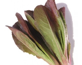 1,000 *HEIRLOOM* Red Romaine Lettuce Seeds