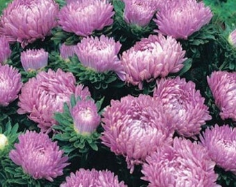 Aster- Milady Lilac - 50 seeds