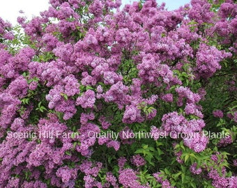 "1 Potted Purple Old Fashion Lilac Bush - Potted Plant - The Most Fragrant Lilac - 30 - 40"" Tall"