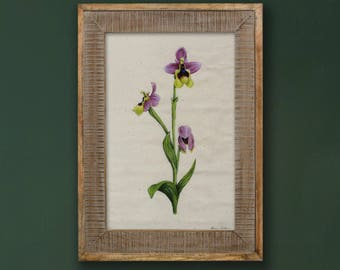 """Ophrys tenthredinifera, Sawfly Orchid. Limited Edition. Botanical Orchid Archival Giclee. 8x12"""""""