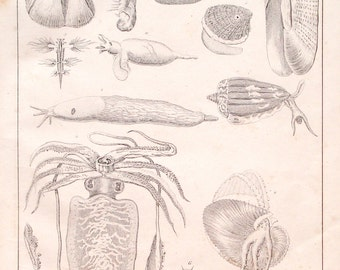 1839 marine life print - Zoology lithograph wall decor, barnacle, clam, argonaut, cuttlefish - 178 years old antique illustration (C373)