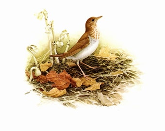 The Veery painted by J F Landsdowne for the book Birds of the Eastern Forest:2. The page is approx. 9 1/2 inches wide and 13 inches tall.