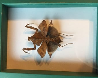 Framed Dead Leaf Mantis