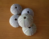 5 Sea Urchin Shells for Crafts, Home, Wedding, Nautical Decor