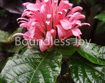 Pink Justicia Tropical Flower - 9x12 photo print
