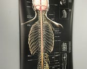 Vintge Nervous System Spinal Pharmaceutical Chart