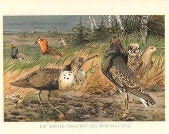 1892 Ruff - Philomachus pugnax Original Antique Chromolithograph to Frame