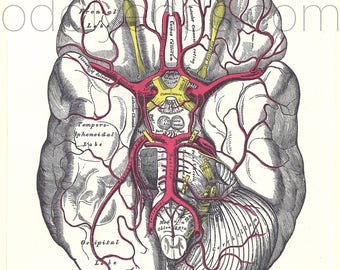 1970's Brain Human Anatomy Original Vintage Print
