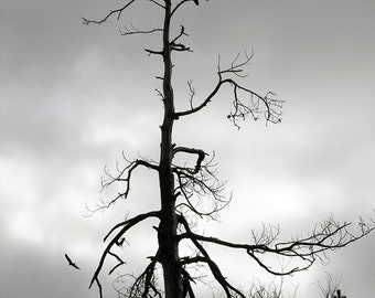 Buzzards at the Dead Tree Print - Black and White Photo Print