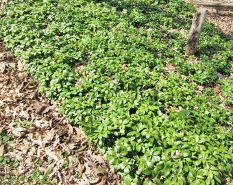 25 PACHYSANDRA Ground Cover PERENNIAL spring garden plants bare root shade