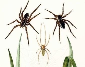 1960 Vintage Fishing Spider Print. raft spiders, dock spiders, wharf spiders. Arachnid. Entomology. Natural History.