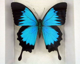 Real Framed Butterfly - Iridescent Papilio Ulysses autolycus - Blue Mountain Swallowtail